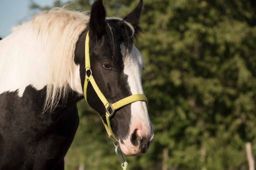 Tinker - Kaltblut Pferd
