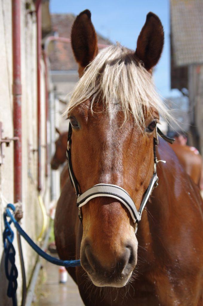 Gefährdung dieser Kaltblut Pferde