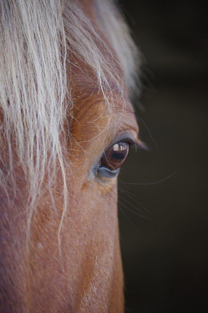 Charakter der Comtois Pferde